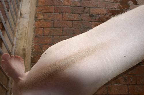 中央畜產會200504期Y0526-02體型-體軀相片