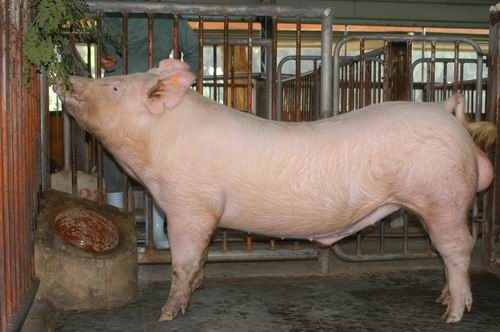 中央畜產會200505期Y0126-01體型-全身相片