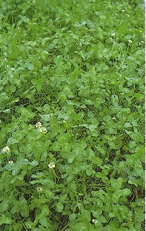 白三葉草(椒草)Trifolium repens L.