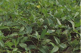 長葉豇豆Vigna luteola (Jacq.) Benth.