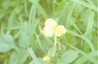 多年生蔓豇豆(匍匐豇豆)Vigna repens (L.) Ktze.