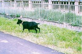 懷孕與哺乳 -落單的懷孕母羊(畜產種原庫及基因交流p57)