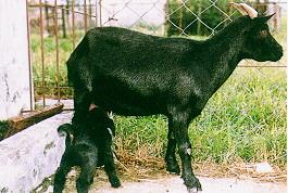 懷孕與哺乳 -哺乳(畜產種原庫及基因交流p57)