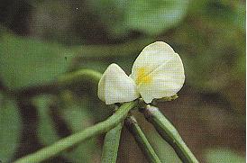 豇豆(米豆)Vigna unguiculata (L.) Walp.