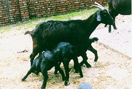 懷孕與哺乳 -三胞胎哺育(畜產種原庫及基因交流p57)