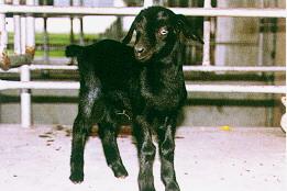 育成-新生羔羊,臍帶仍在(畜產種原庫及基因交流p58)