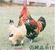 畜試所土雞族群外觀 - 近親品系11(畜產種原庫及基因交流p62)