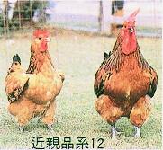 畜試所土雞族群外觀 - 近親品系12(畜產種原庫及基因交流p62)