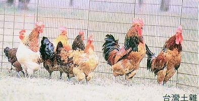 畜試所土雞族群外觀 - 台灣土雞(畜產種原庫及基因交流p62)