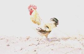 中興大學土雞族群來源及外觀 - 內門土雞:(公)(畜產種原庫及基因交流p65)