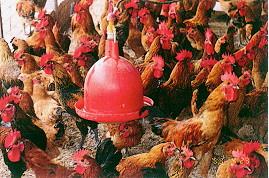 畜試所土雞品系雜交 (6)(畜產種原庫及基因交流p63)