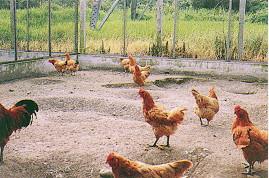 保種環境 - 中興大學室外平飼狀況(畜產種原庫及基因交流p67)