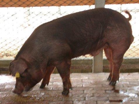 中央畜產會200207期D0377-10體型-全身相片