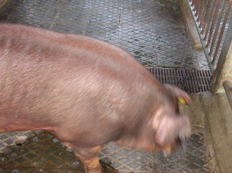 中央畜產會200207期D1016-02體型-頭頸相片