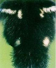 黑番鴨之羽毛生長(0至六週)- 出生時背部有四個金黃色斑點,腹部為金黃色(畜產種原庫及基因交流p74)