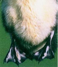 黑番鴨之羽毛生長(0至六週)- 腳蹼有淡白色斑點(畜產種原庫及基因交流p74)
