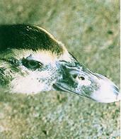黑番鴨之羽毛生長(0至六週)- 喙上的淡白色斑點漸褪成黑褐色或黑綠色(畜產種原庫及基因交流p74)