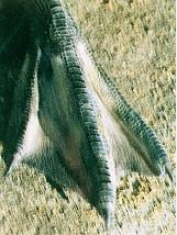 黑番鴨之羽毛生長(0至六週)- 蹼上的淡白色斑點漸褪成黑褐色或黑綠色(畜產種原庫及基因交流p74)