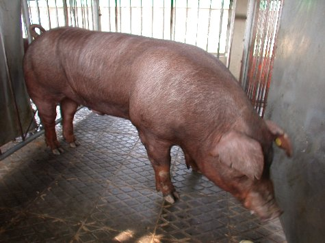 中央畜產會200209期D1022-04體型-全身相片