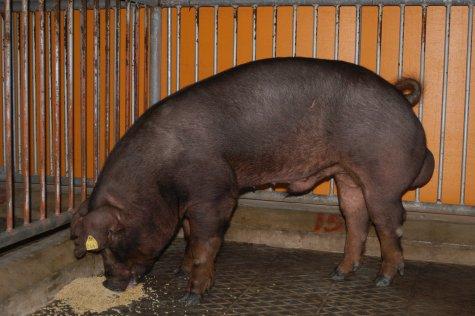 中央畜產會200303期D0177-04體型-全身相片