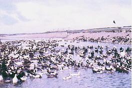 民間飼養肉鴨之變遷(2) - 民國六十年代(白毛基因研究)(畜產種原庫及基因交流p80)
