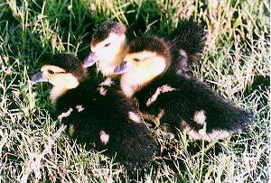 孵出不久的雛鴨 - 黑色番鴨(畜產種原庫及基因交流p73)