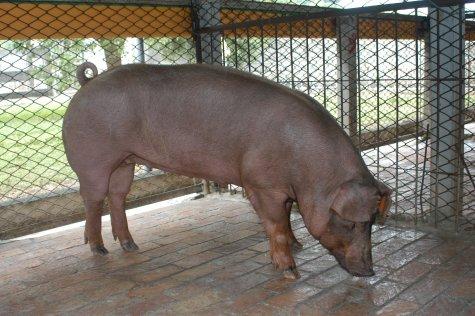 中央畜產會200305期D0513-06體型-全身相片