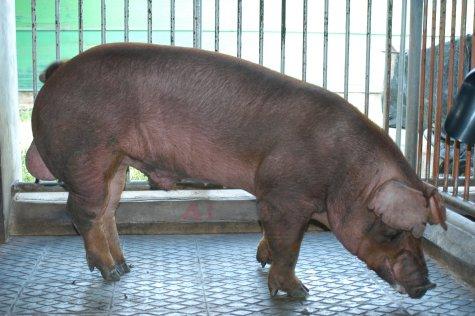 中央畜產會200306期D0555-04體型-全身相片