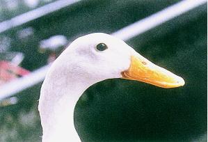 白色菜鴨之羽毛、頭和腳特徵 - 種用公白色菜鴨 頭部特徵(畜產種原庫及基因交流p77)