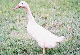 種鴨之外表特徵 - 母褐色菜鴨(畜產種原庫及基因交流p79)