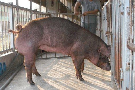 中央畜產會200307期D1603-11體型-全身相片