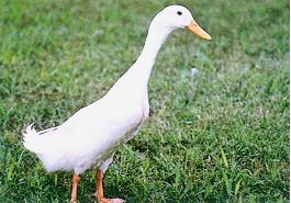 種鴨之外表特徵 - 公白色菜鴨(畜產種原庫及基因交流p79)
