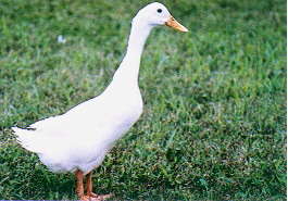 種鴨之外表特徵 - 母白色菜鴨(畜產種原庫及基因交流p79)