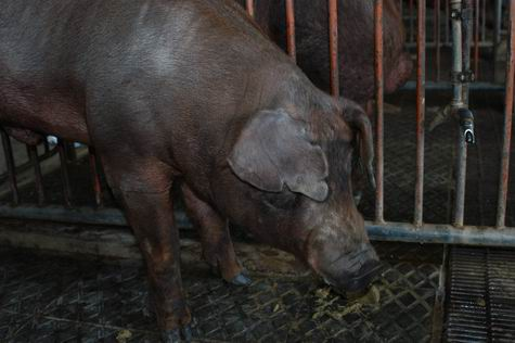 中央畜產會200309期D0569-05體型-頭頸相片