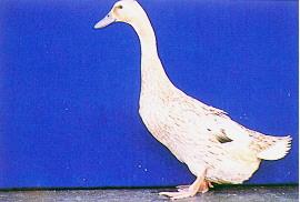 雜交肉用鴨生產變遷 - 母系菜鴨(畜產種原庫及基因交流p81)