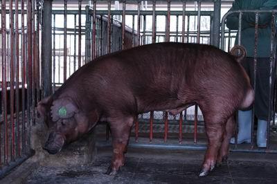 中央畜產會200311期D0587-01體型-全身相片