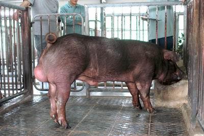 中央畜產會200311期D1061-02體型-全身相片