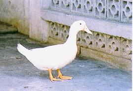 雜交肉用鴨生產變遷 - 白色土番鴨深受消費者和羽毛加工業者喜愛 (畜產種原庫及基因交流p81)