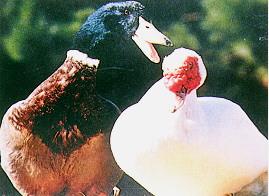 雜交肉用鴨生產變遷 - 種原基因交談(畜產種原庫及基因交流p81)