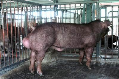 中央畜產會200311期D1732-02體型-全身相片