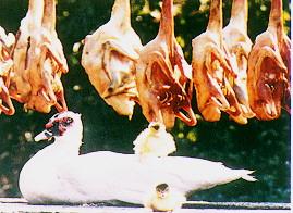 雜交肉用鴨生產變遷 - 白毛基因選育有助於鴨肉加工品之消費 (畜產種原庫及基因交流p81)