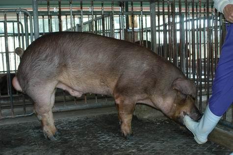 中央畜產會200312期D0088-02體型-全身相片
