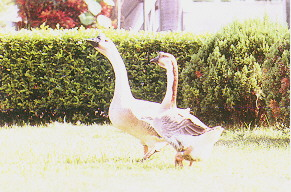 灰色中國鵝(Brown Chinese Goose)(畜產種原庫及基因交流p82)