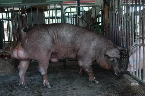 中央畜產會200312期D0437-12體型-全身相片