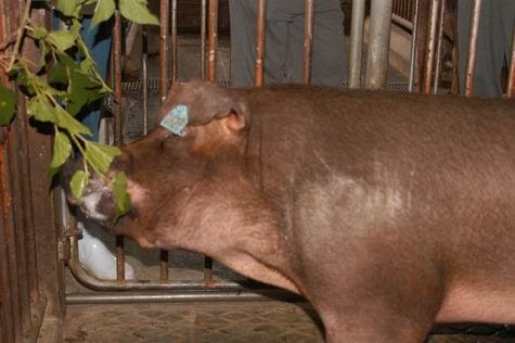中央畜產會200401期D0117-02體型-頭頸相片