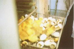 資料收集 - 雛鵝孵出(畜產種原庫及基因交流p84)
