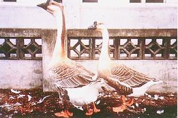 繁殖管理 - 灰色鵝配對(畜產種原庫及基因交流p85)