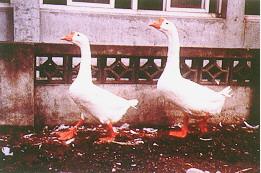繁殖管理 - 白色鵝配對(畜產種原庫及基因交流p85)