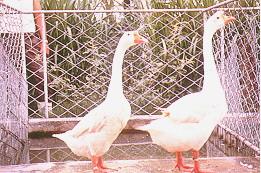 繁殖管理 - 「夫」前「婦」後(畜產種原庫及基因交流p85)