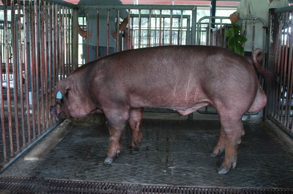 中央畜產會200405期D0428-06體型-全身相片